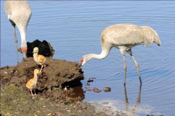 """Sandhill Cranes with """"Colts"""""""