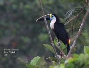 White-throated Toucan (Ramphastos tucanus) by Kent Nickel