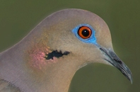 White-winged Dove (Zenaida asiatica) Eye up close by Reinier