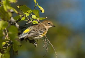 Yellow-rumped Warbler (Dendroica coronata) by Anthony747