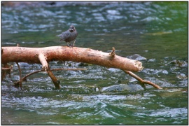 American Dipper (Cinclus mexicanus) by Daves BirdingPix
