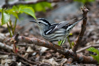 Black-and-white Warbler (Mniotilta varia) by Anthony 747