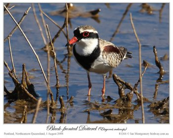 Black-fronted Dotterel (Elseyornis melanops) by Ian