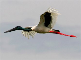 Black-necked Stork (Jabiru) (Ephippiorhynchus asiaticus) by Ian
