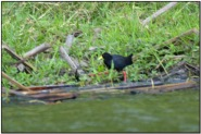 Black Crake (Amaurornis flavirostra) by Daves BirdingPix