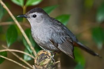 Grey Catbird (Dumetella carolinensis) by Africaddict