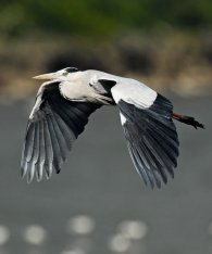Grey Heron (Ardea cinerea) by W Kwong
