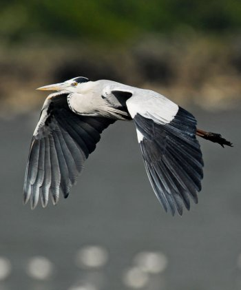 Grey Heron (Ardea cinerea) by W Kwong