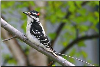 Hairy Woodpecker (Picoides villosus) by Daves BirdingPix