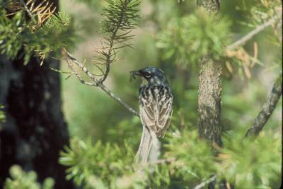 Kirtland's Warbler (Setophaga kirtlandii) ©USFWS