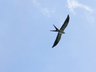 Swallow-tailed Kite - the one bird I got a photo of as it flew overhead