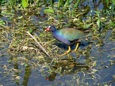 Purple Gallinule by Lee at Lake Hollingsworth