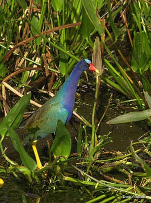 Purple Gallinule (Porphyrio martinica) by Densie Russell
