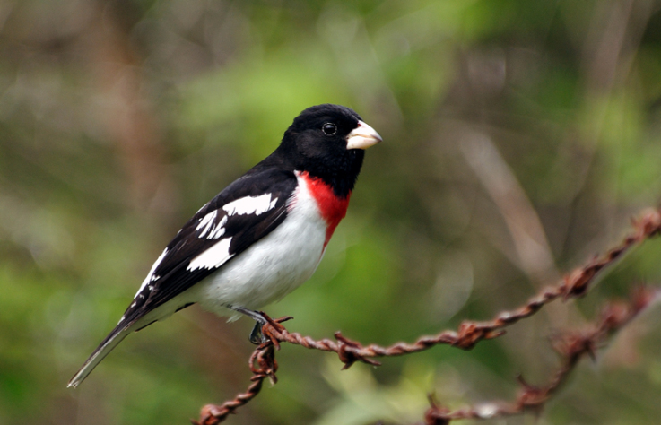 Rose-breasted Grosbeak (Pheucticus ludovicianus) by Rob Fry