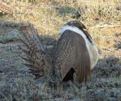 Sage Grouse (Centrocercus urophasianus) by Kent Nickel