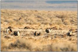 Sage Grouse (Centrocercusurophasianus) by Dave's BirdingPix