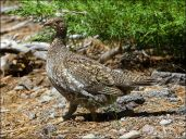 Sooty(Blue) Grouse (Dendragapus fuliginosus) by Ian