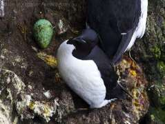 Thick-billed Murre (Uria lomvia) with egg by Ian