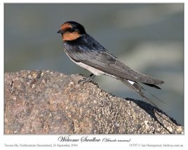 Welcome Swallow (Hirundo noexena) by Ian