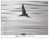 Welcome Swallow (Hirundo neoxena) by Ian