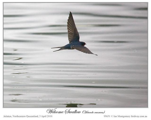 Welcome Swallow (Hirundo neoxena) by Ian