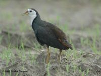 White-breasted Waterhen (Amaurornis phoenicurus) by Nikhil Devasar