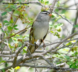 White-crowned Sparrow (Zonotrichia leucophrys) by S Slayton