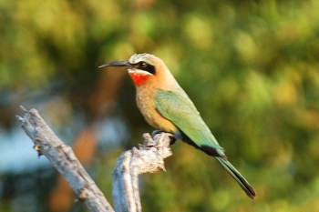 White-fronted Bee-eater (Merops bullockoides) by Bob-Nan