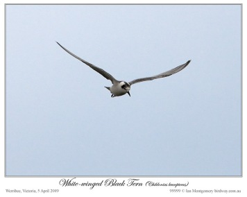 White-winged Tern (Chlidonias leucopterus) by Ian
