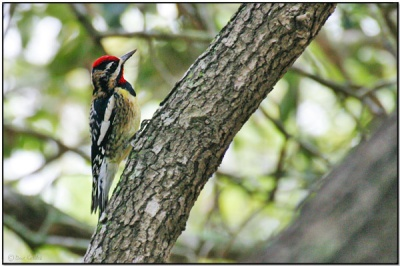 Yellow-bellied Sapsucker (Sphyrapicus varius) by Daves BirdingPix