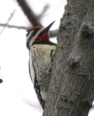 Yellow-bellied Sapsucker (Sphyrapicus varius) by Kent Nickell