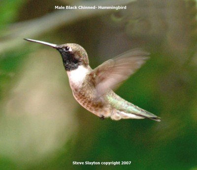 Black-chinnedHummingbird (Archilochus alexandri) by S Slayton