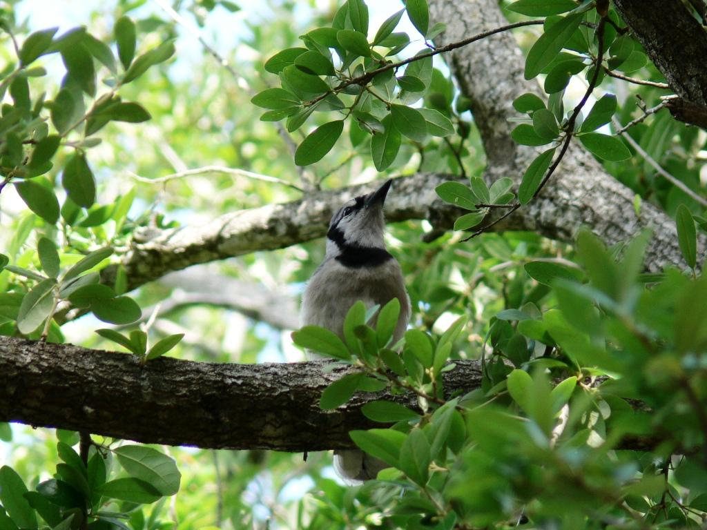 Blue Jay in tree at Hampton Pines