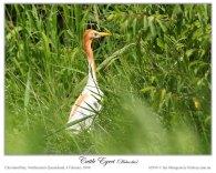 Eastern Cattle Egret (Bubulcus coromandus)2 by Ian Montgomery