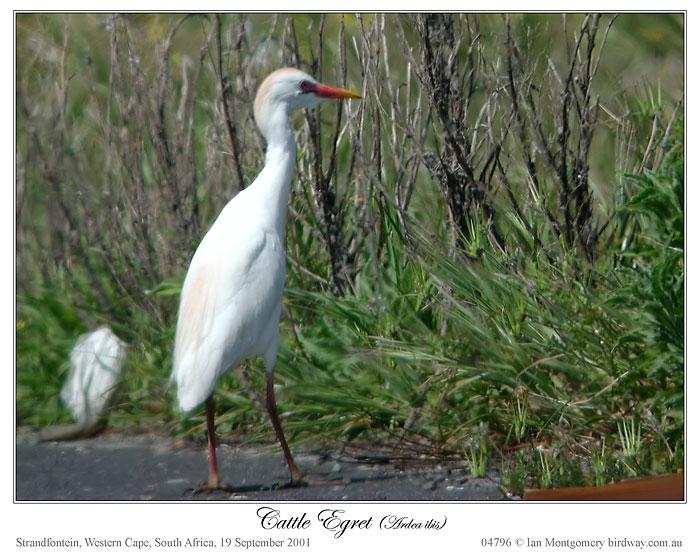 Eastern Cattle Egret (Bubulcus coromandus)3 by Ian Montgomery