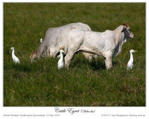 Eastern Cattle Egret (Bubulcus coromandus)4 by Ian Montgomery