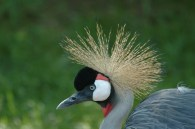 Grey Crowned Crane (Balearica regulorum) by Bob-Nan