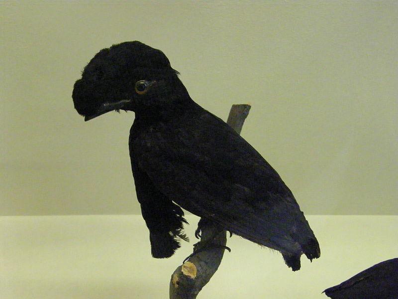 Long-wattled Umbrellabird (Cephalopterus penduliger) by Wikipedia