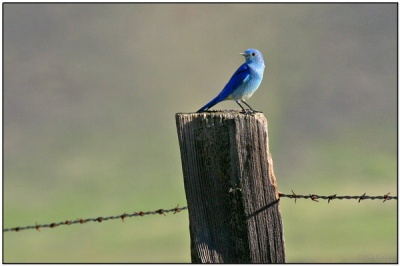 Mountain Bluebird (Sialia currucoides) by Daves BirdingPix