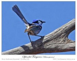 Splendid Fairywren (Malurus splendens) by Ian Montgomery
