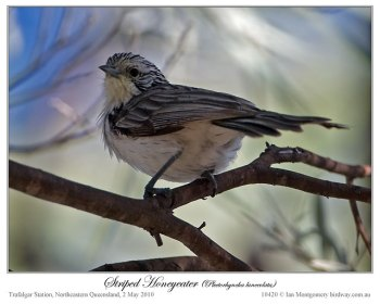 Striped Honeyeater (Plectorhyncha lanceolata) by Ian