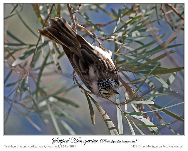 Striped Honeyeater (Plectorhyncha lanceolata) by Ian