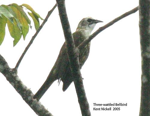Three-wattled Bellbird (Procnias tricarunculata) Immature male by Kent Nickell