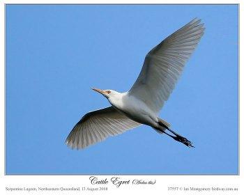Western Cattle Egret (Bubulcus ibis) by Ian Montgomery