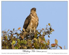 Whistling Kite (Haliastur sphenurus) by Ian