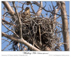 Whistling Kite (Haliastur sphenurus) by Ian