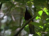 Wompoo Fruit-Dove (Ptilinopus magnificus) by Ian