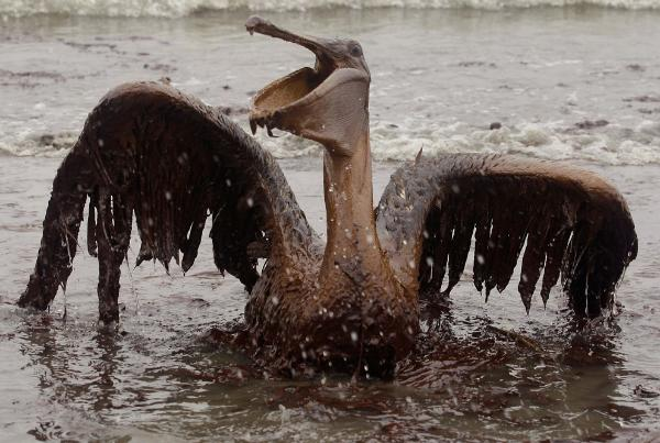 Pelican caught in the Oil Spill