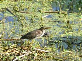 Green Heron Lake Hollingsworth