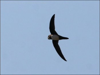 Alpine Swift (Tachymarptis melba) by Ian